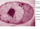 Įdomioji biologija: planktomicetai