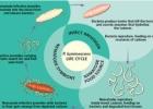 Mikrobai: Photorhabdus luminescens