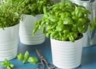 6 prieskoniai, kuruos galima auginti ant palangės