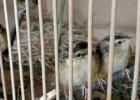 Meldinė nendrinukė: Siekiama atkurti šių paukščių populiaciją Lietuvoje