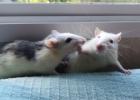 Naminis gyvūnėlis žiurkė – taip ar ne?