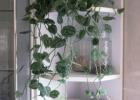 Vijokliniai kambariniai augalai