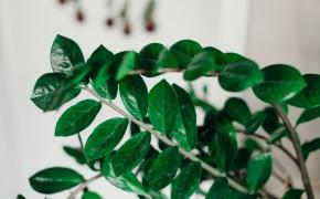 9 kambariniai augalai, kuriuos galima auginti tamsiuose kambariuose