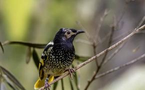 Vienai paukščių rūšiai gresia išnykimas, nes patinėliai pamiršo poravimosi dainą