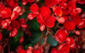 Begonija (Begonia): viskas, ką reikia žinoti apie jos priežiūrą