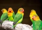 Meilės paukščiai